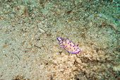 picture of echinoderms  - Underwater photography of a nudibranch in ocean - JPG