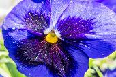 picture of viola  - Flower  - JPG