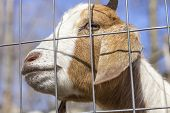 picture of peer  - Smiling Kinder Goat peers through the fence - JPG