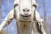 stock photo of peer  - Smiling Kinder Goat peers through the fence - JPG