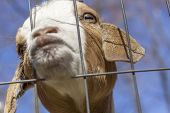 image of peer  - Kinder Goat peers through the fence and puckers his lips for a kiss - JPG