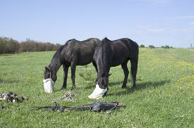 stock photo of feeding horse  - Feeding horses with a bag of food on meadow  - JPG