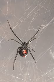 picture of black widow spider  - Latrodectus mactans Southern black widow spider commonly found in North Carolina - JPG