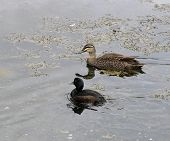 Two Native Ducks Of New Zealand