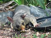 pic of possum  - injured possum in garden brisbane queensland australia - JPG