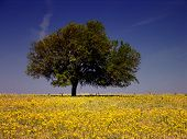 image of yellow flower  - Yellow flowers cover a Texas pasture where a tree stands guard - JPG
