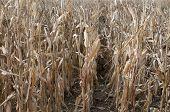 Cultivo de maíz arruinada por la sequía
