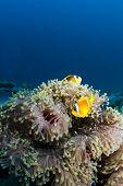 Two Clownfish