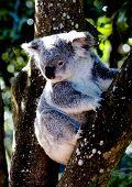 Koala sits in tree