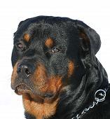 Head Of Rottweiler