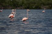 American Flamingos, Phoenicopterus ruber
