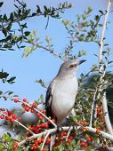 Northern Mockingbird On A Shrub