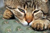 Sleeping Cat Portrait Waking Up