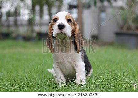 poster of Beagle puppy sitting on grass,morning,sunny dog Beagle early in the morning at sunrise,Seven weeks old  cute little beagle puppy,cute dog lying on green grass,  Portrait cute dog,small cute beagle puppy dog looking up