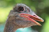 ostrich portrait close up