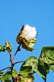 Cotton Flower
