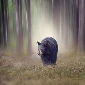 Black bear walking in the woods poster