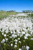 Summer Landscape with Cotton Grass.