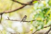 Bird (asian Brown Flycatcher) In Nature Wild poster