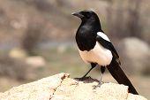 Black-billed Magpie Standing Bold