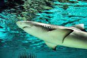 Swimming Shark