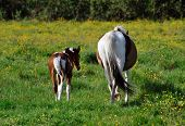 image of lipizzaner  - Closeup of the tails of a brown and white marked horse with foal - JPG
