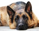 stock photo of shepherd dog  - portrait of adult german sheppard - JPG