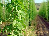 Hops Plantation