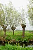 Pollard Willows in Dutch landscape at the Krimpenerwaard