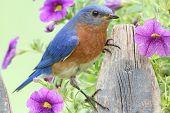 Östlichen Bluebird