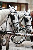 pic of blinders  - Fiaker Horses - JPG