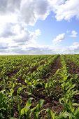 Campo de milho perto de Audlem, Cheshire