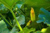 Closed Zucchini Flower
