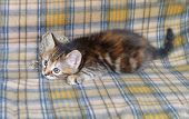 The Little Motley Kitten Sneaking Up Of Yarn On A Checkered Rug. Inquisitive Little Domestic Kitten  poster