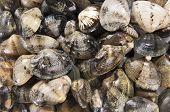 Clams Mollusk