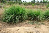 Lemon grass plant in mixed garden