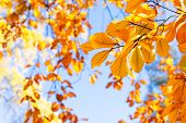 Fall Yellow Leaves On The Sunny Pale Sky Background, Fall Natural Seasonal Background poster