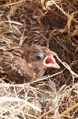 Baby House Sparrow Close Up
