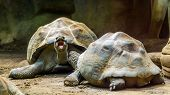 Couple Of Galapagos Tortoises Together, One Opening Its Mouth, Vulnerable Land Turtle Specie From Th poster