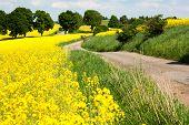 floração amarelo campo de colza - brassica napus