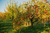 Apple Garden Nature Background Sunny Autumn Day. Gardening And Harvesting. Fall Apple Crops Organic  poster