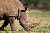 Feeding White Rhino
