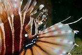Zebra Lionfish in Lembeh Straits