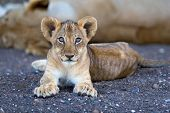 Lion Cub In Riverbed