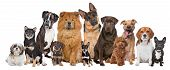 stock photo of herd  - Group of twelve dogs sitting in front of a white background - JPG