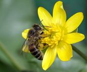 Worker Bee On Yellow Flower