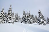 Winter Landscape. Pine Trees Stand In Snow Swept Mountain Meadow. Footpath Leads To The Mysterious F poster