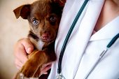 The Vet Examines A Puppy In The Hospital. The Little Dog Got Sick. Puppy In The Hands Of A Veteran D poster