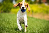 Beagle Dog Runs Through Green Meadow With A Ball. Copy Space Domestic Dog Concept. Dog Fetching Blue poster