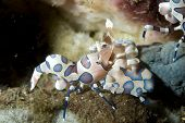 Harlequin Shrimp Eating Sea Star in Lembeh Straits